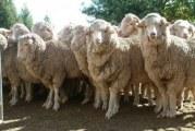 Goneste oaia! Baza de la Deveselu, pusa in pericol de un saivan de oi! Americanii cer demolarea constructiei!