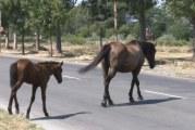 Slatina, fără câini, cai şi vaci pe străzi! 2.500 lei este amenda pentru stăpânii animalelor lăsate libere prin oraş!