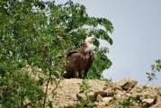 Apariţie Rară În Mehedinţi: Un Vultur Pleşuv, fotografiat La Orşova