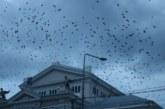 Mehedinţi: Centrul Severinului, invadat de ciori!