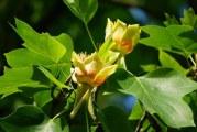 Ştiai că în Oltenia există un copac în care cresc lalele? Află în ce judeţ poţi admira această minune a naturii !