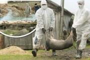 Toate târgurile de animale din Mehedinți, închise! România se află sub cod roșu de pestă porcină africană.