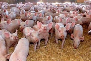 Veterinarii pot acorda derogări pentru animalele sănătoase aflate în zona de restricţie, după testare, pentru abatorizare şi comercializare