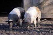 Gorjenii au intrat in panica dupa aparitia pestei porcine din Dolj! Multi si-au luat liber ca sa-si taie porcii!
