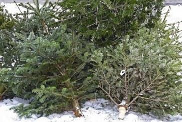La Craiova începe colectarea brazilor de Crăciun
