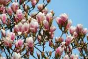 Primăria Râmnicu Vâlcea a plantat 50 de magnolii